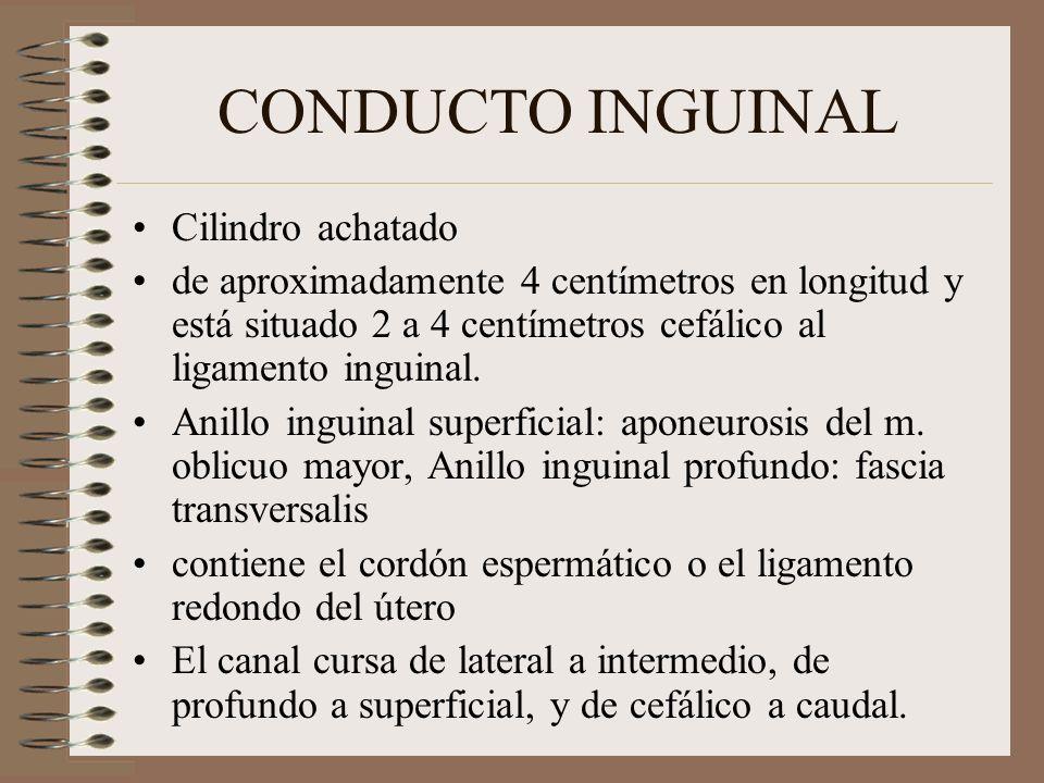 CONDUCTO INGUINAL Cilindro achatado de aproximadamente 4 centímetros en longitud y está situado 2 a 4 centímetros cefálico al ligamento inguinal.