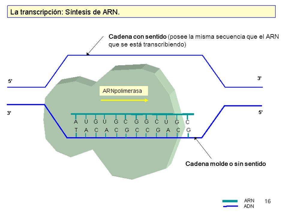 Cadena molde o sin sentido Cadena con sentido (posee la misma secuencia que el ARN que se está transcribiendo)