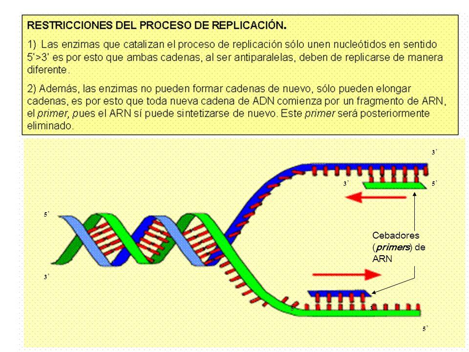 ENZIMAS Y PROTEÍNAS IMPLICADAS EN LA REPLICACIÓN a) ARN polimerasa: sintetiza un fragmento de ARN constituido por unos pocos nucleótidos.