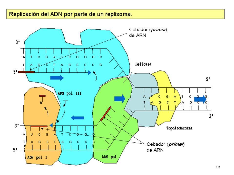 Horquilla (ojo) de replicación 5 53 3 5 3 35 5 5 3 3 5 55 3 3 3 3 5 ARN cebador (primer) Nuevas cadenas de ADN Fragmentos de Okazaki (hebra discontinua) Hebra continua o líder