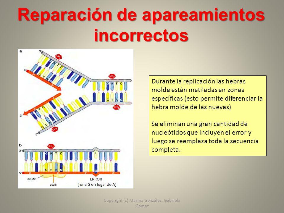 Reparación de apareamientos incorrectos Durante la replicación las hebras molde están metiladas en zonas específicas (esto permite diferenciar la hebr