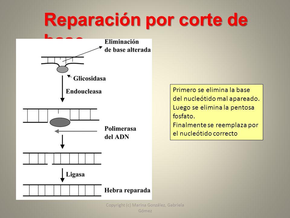 Reparación por corte de base Primero se elimina la base del nucleótido mal apareado. Luego se elimina la pentosa fosfato. Finalmente se reemplaza por
