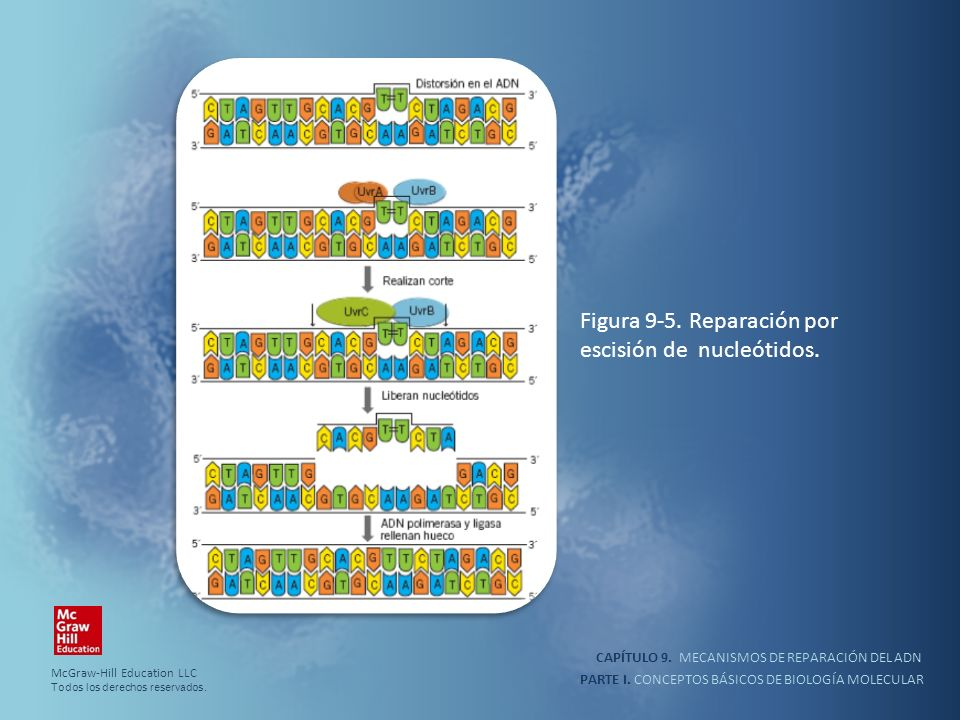 PARTE I. CONCEPTOS BÁSICOS DE BIOLOGÍA MOLECULAR CAPÍTULO 9. MECANISMOS DE REPARACIÓN DEL ADN Figura 9-5. Reparación por escisión de nucleótidos. McGr