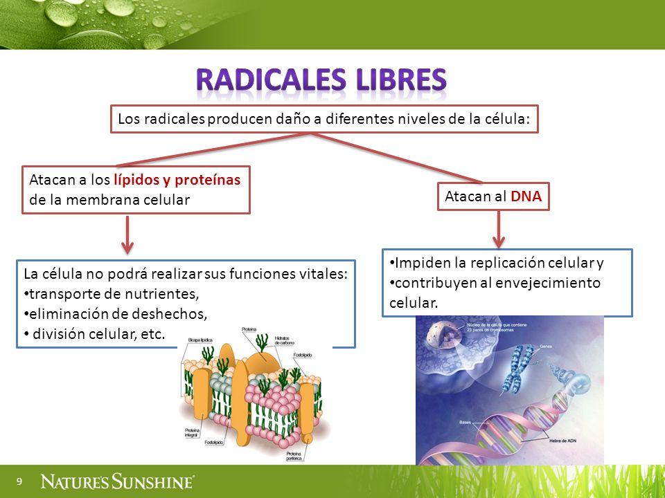 9 Los radicales producen daño a diferentes niveles de la célula: Atacan a los lípidos y proteínas de la membrana celular La célula no podrá realizar s