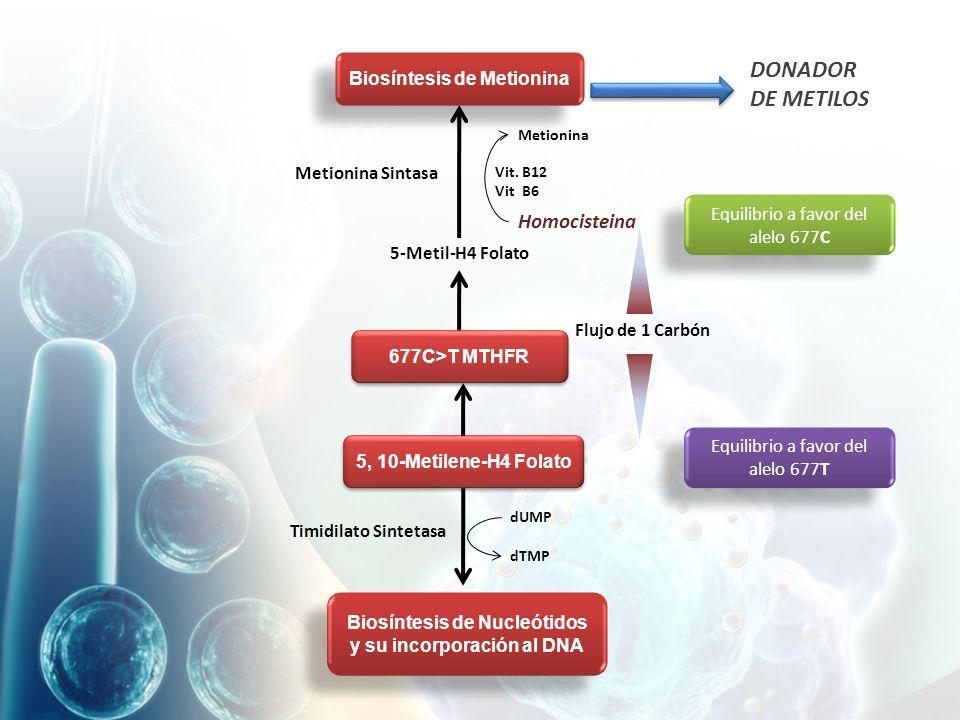 Biosíntesis de Metionina 677C>T MTHFR 5, 10-Metilene-H4 Folato Biosíntesis de Nucleótidos y su incorporación al DNA Equilibrio a favor del alelo 677C Equilibrio a favor del alelo 677T Timidilato Sintetasa dUMP dTMP 5-Metil-H4 Folato Homocisteina Metionina Vit.