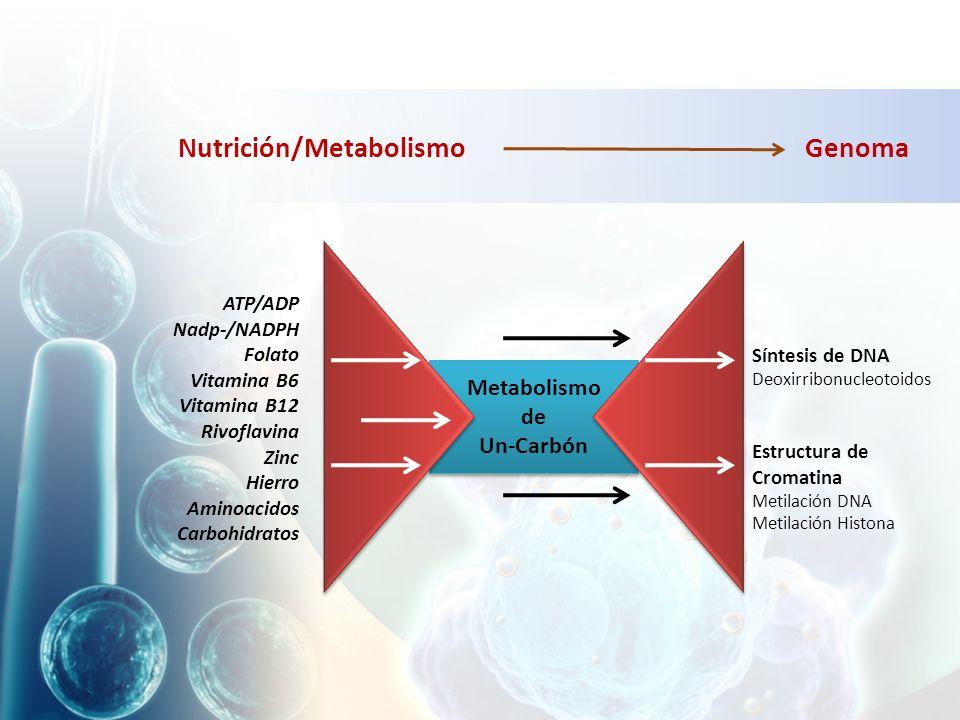 Nutrición/MetabolismoGenoma Metabolismo de Un-Carbón Metabolismo de Un-Carbón Síntesis de DNA Deoxirribonucleotoidos Estructura de Cromatina Metilación DNA Metilación Histona ATP/ADP Nadp-/NADPH Folato Vitamina B6 Vitamina B12 Rivoflavina Zinc Hierro Aminoacidos Carbohidratos