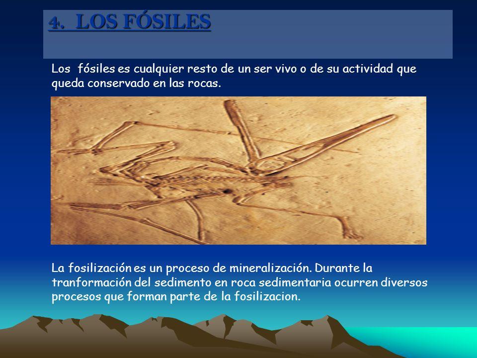 Los fósiles es cualquier resto de un ser vivo o de su actividad que queda conservado en las rocas. La fosilización es un proceso de mineralización. Du