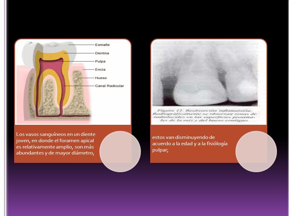 Los vasos sanguíneos en un diente joven, en donde el foramen apical es relativamente amplio, son más abundantes y de mayor diámetro, estos van disminu