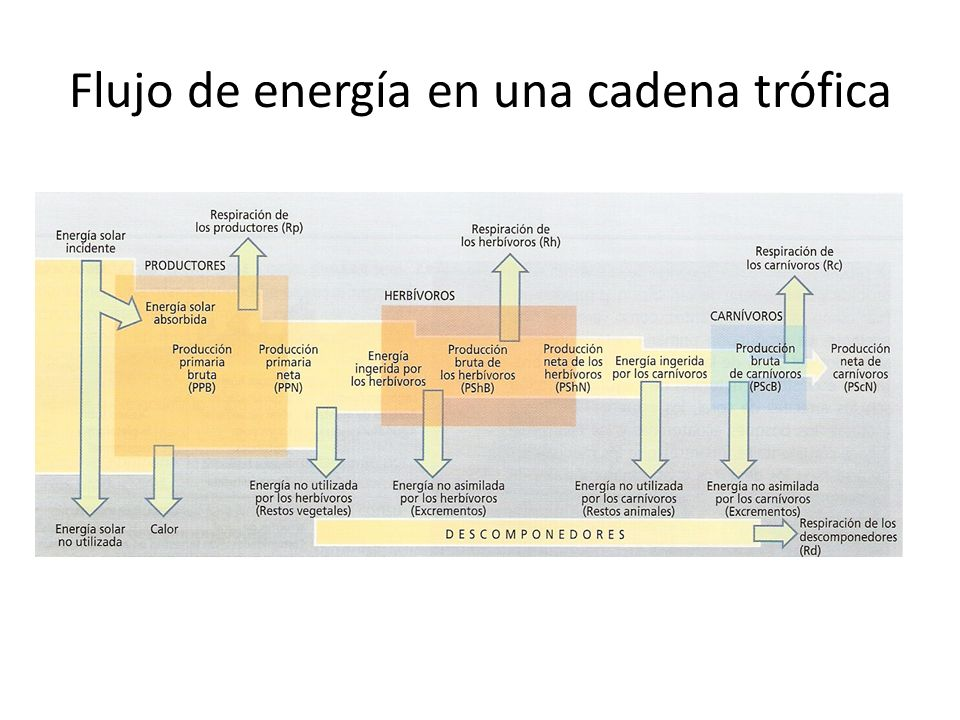 Flujo de energía en una cadena trófica