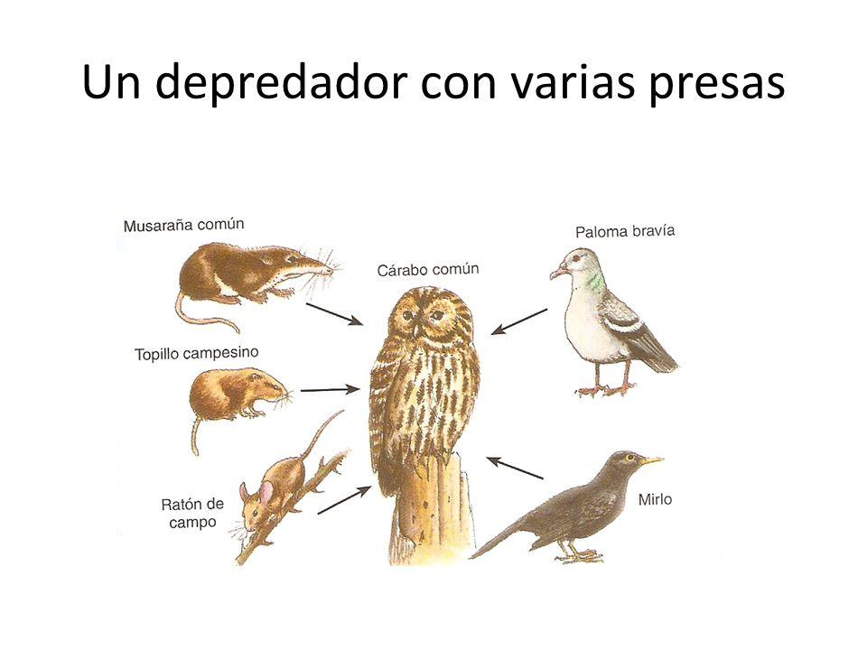 Un depredador con varias presas