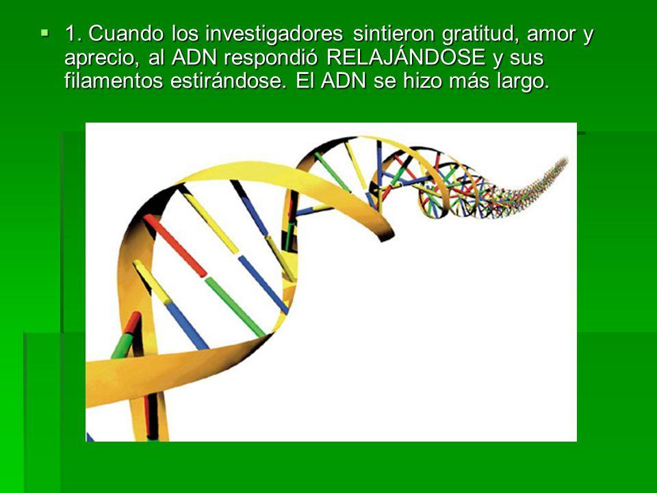 1. Cuando los investigadores sintieron gratitud, amor y aprecio, al ADN respondió RELAJÁNDOSE y sus filamentos estirándose. El ADN se hizo más largo.