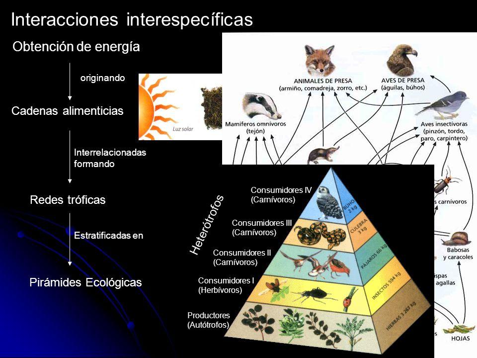 Interacciones interespecíficas Obtención de energía originando Cadenas alimenticias Interrelacionadas formando Redes tróficas Estratificadas en Pirámi