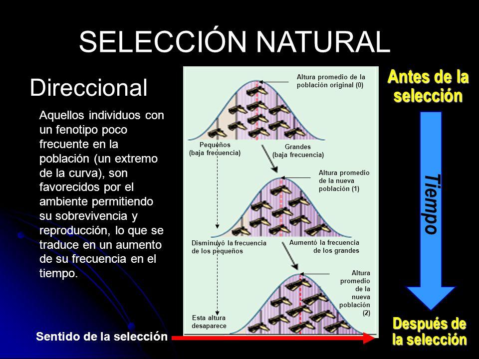 Direccional SELECCIÓN NATURAL Antes de la selección Después de la selección Tiempo Aquellos individuos con un fenotipo poco frecuente en la población