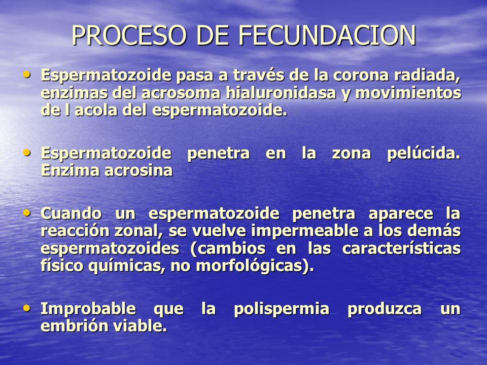 PROCESO DE FECUNDACION Espermatozoide pasa a través de la corona radiada, enzimas del acrosoma hialuronidasa y movimientos de l acola del espermatozoi