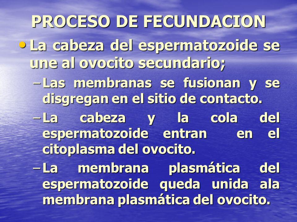PROCESO DE FECUNDACION La cabeza del espermatozoide se une al ovocito secundario; La cabeza del espermatozoide se une al ovocito secundario; –Las memb