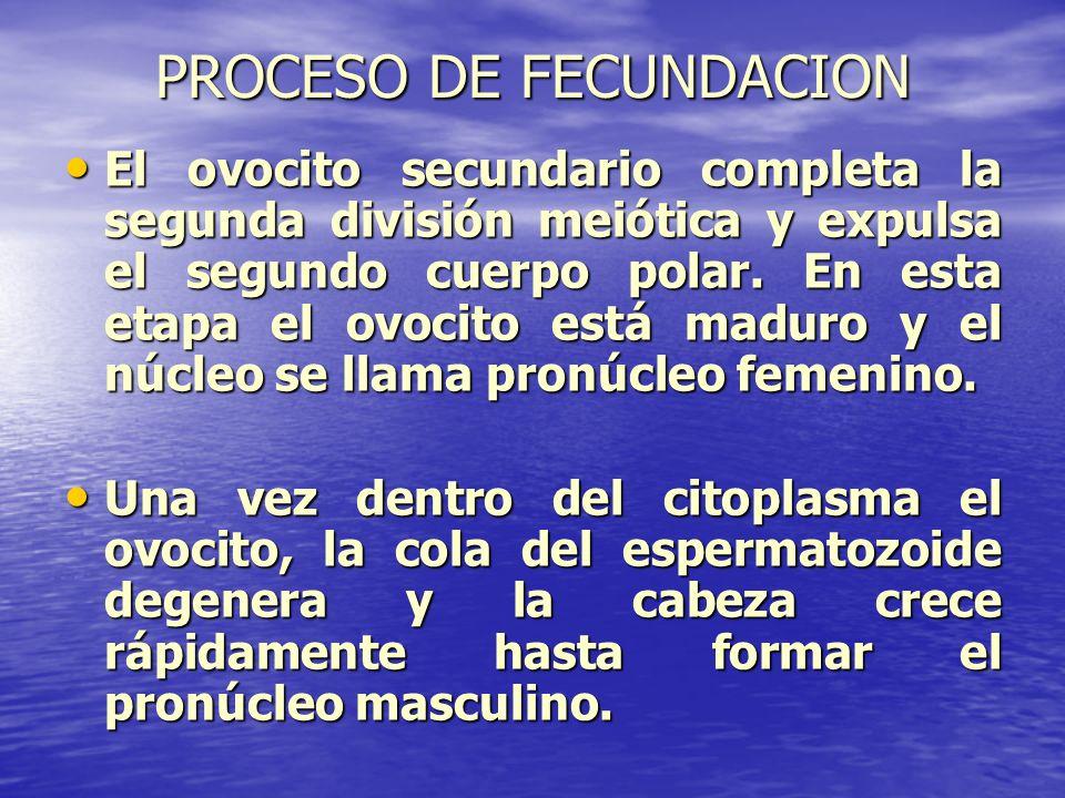 PROCESO DE FECUNDACION El ovocito secundario completa la segunda división meiótica y expulsa el segundo cuerpo polar. En esta etapa el ovocito está ma