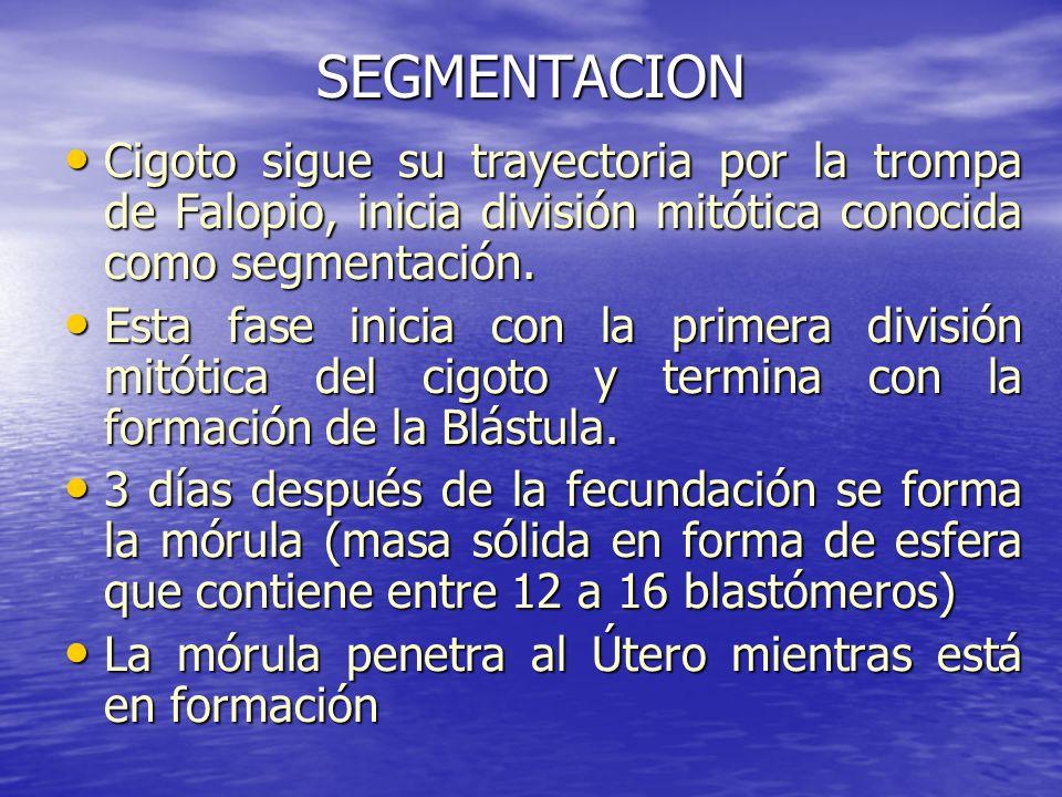 SEGMENTACION Cigoto sigue su trayectoria por la trompa de Falopio, inicia división mitótica conocida como segmentación. Cigoto sigue su trayectoria po
