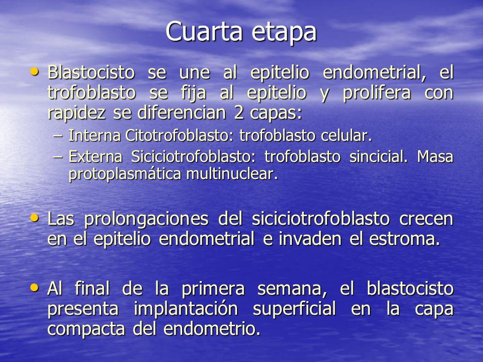 Cuarta etapa Blastocisto se une al epitelio endometrial, el trofoblasto se fija al epitelio y prolifera con rapidez se diferencian 2 capas: Blastocist