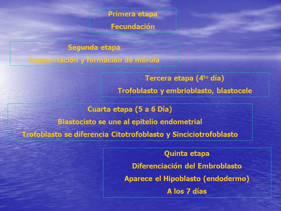 Primera etapa Fecundación Segunda etapa Segmentación y formación de mórula Cuarta etapa (5 a 6 Día) Blastocisto se une al epitelio endometrial Trofobl