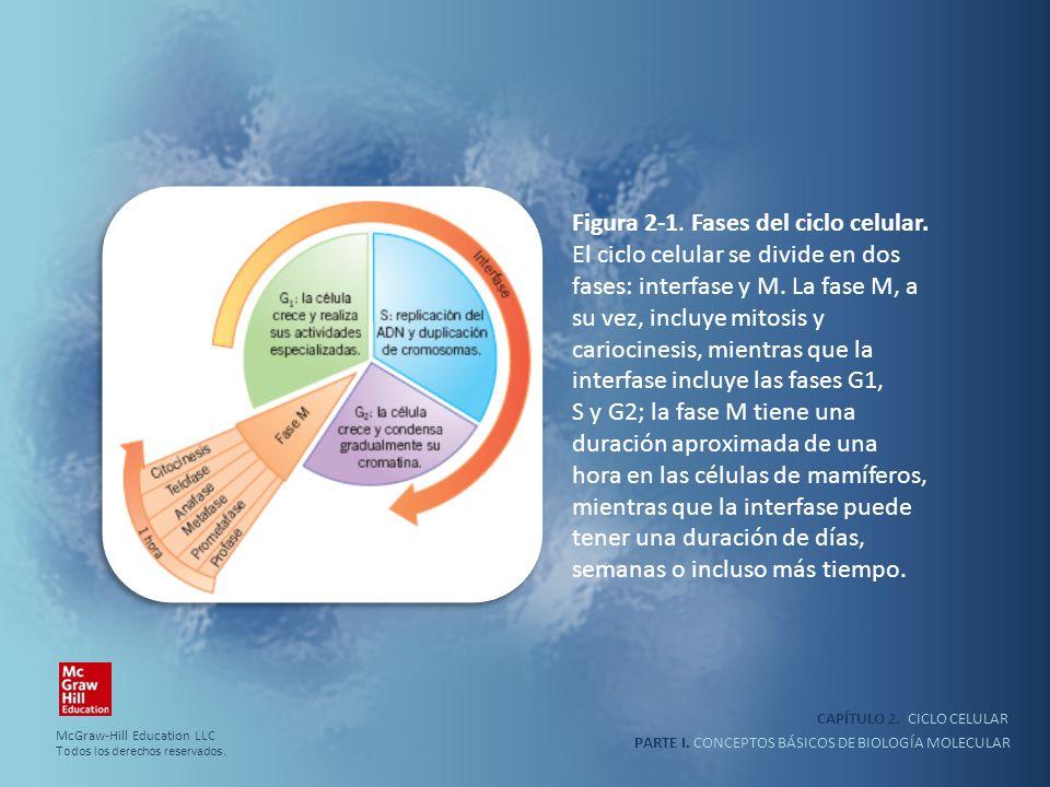 PARTE I. CONCEPTOS BÁSICOS DE BIOLOGÍA MOLECULAR CAPÍTULO 2. CICLO CELULAR Figura 2-1. Fases del ciclo celular. El ciclo celular se divide en dos fase