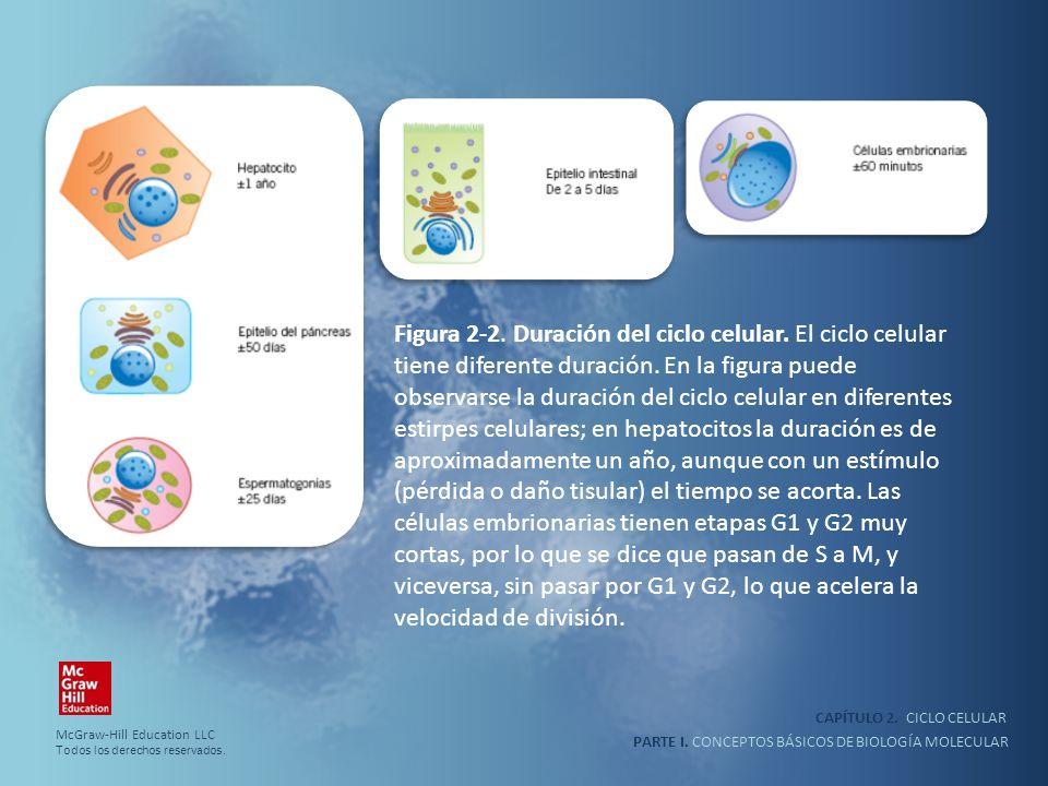 PARTE I. CONCEPTOS BÁSICOS DE BIOLOGÍA MOLECULAR CAPÍTULO 2. CICLO CELULAR Figura 2-2. Duración del ciclo celular. El ciclo celular tiene diferente du