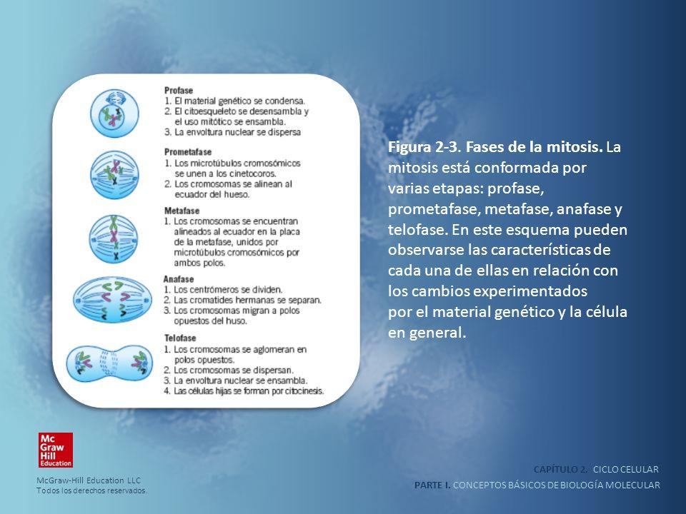 PARTE I. CONCEPTOS BÁSICOS DE BIOLOGÍA MOLECULAR CAPÍTULO 2. CICLO CELULAR Figura 2-3. Fases de la mitosis. La mitosis está conformada por varias etap
