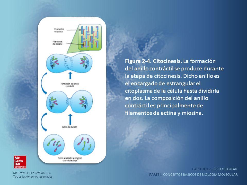 PARTE I. CONCEPTOS BÁSICOS DE BIOLOGÍA MOLECULAR CAPÍTULO 2. CICLO CELULAR Figura 2-4. Citocinesis. La formación del anillo contráctil se produce dura