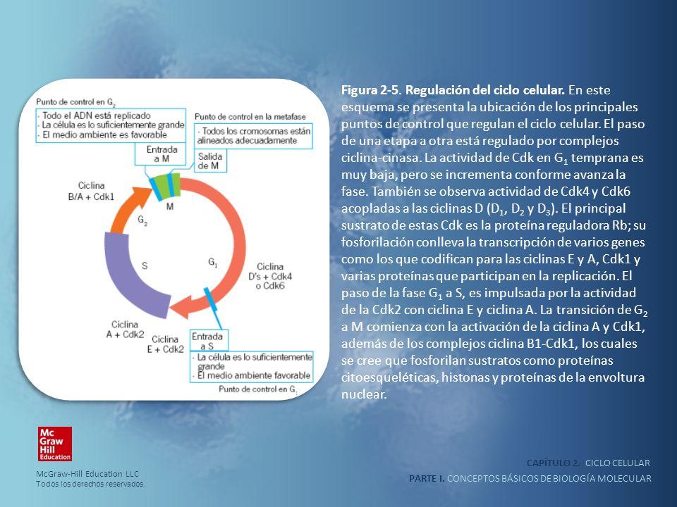 PARTE I. CONCEPTOS BÁSICOS DE BIOLOGÍA MOLECULAR CAPÍTULO 2. CICLO CELULAR Figura 2-5. Regulación del ciclo celular. En este esquema se presenta la ub