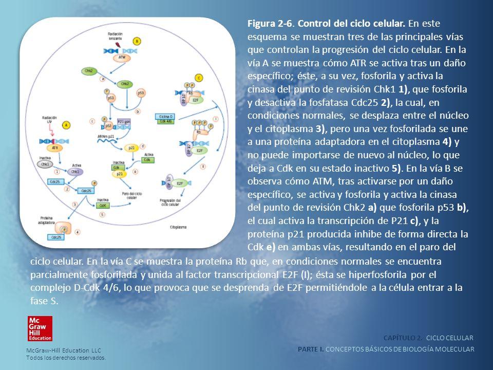 PARTE I. CONCEPTOS BÁSICOS DE BIOLOGÍA MOLECULAR CAPÍTULO 2. CICLO CELULAR Figura 2-6. Control del ciclo celular. En este esquema se muestran tres de