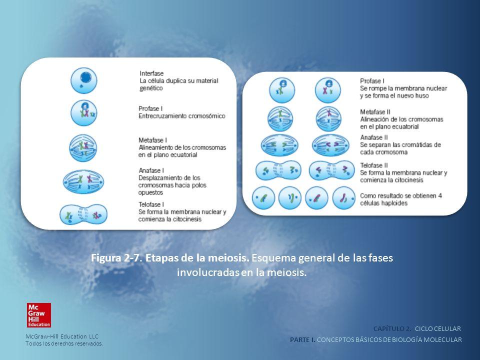 PARTE I. CONCEPTOS BÁSICOS DE BIOLOGÍA MOLECULAR CAPÍTULO 2. CICLO CELULAR Figura 2-7. Etapas de la meiosis. Esquema general de las fases involucradas