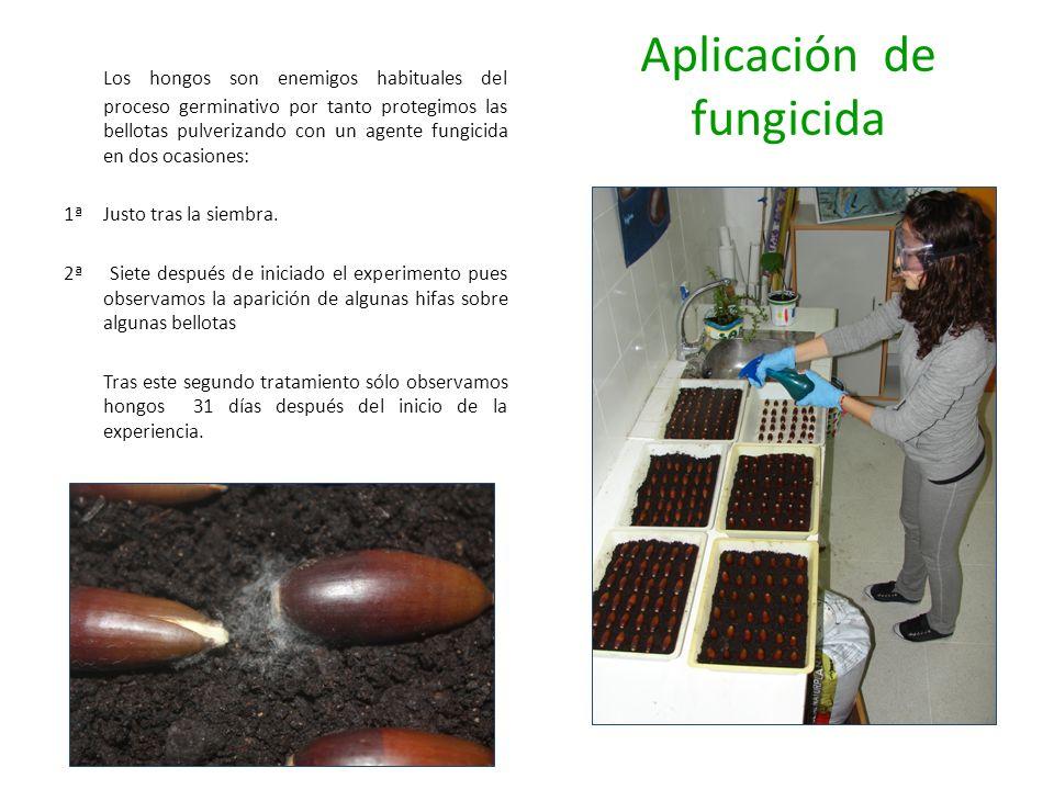 Aplicación de fungicida Los hongos son enemigos habituales del proceso germinativo por tanto protegimos las bellotas pulverizando con un agente fungic