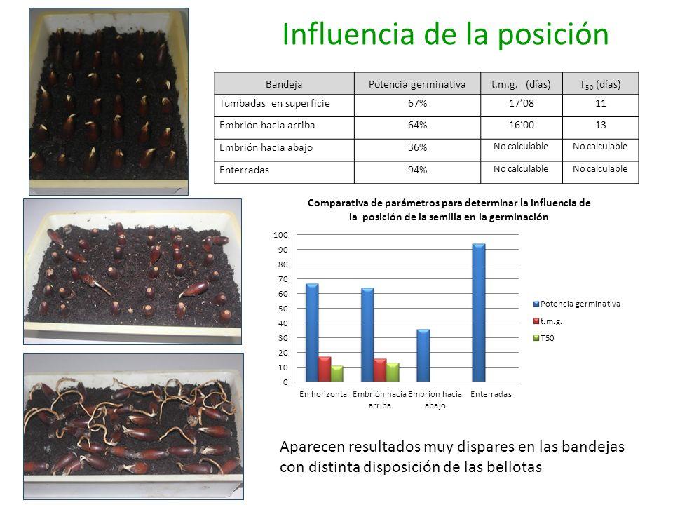 Influencia de la posición BandejaPotencia germinativat.m.g. (días)T 50 (días) Tumbadas en superficie67%170811 Embrión hacia arriba64%160013 Embrión ha