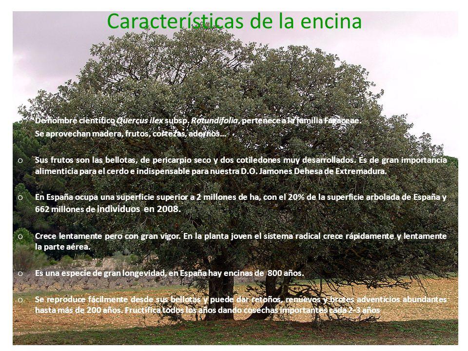 Características de la encina o De nombre científico Quercus ilex subsp. Rotundifolia, pertenece a la familia Fagaceae. Se aprovechan madera, frutos, c
