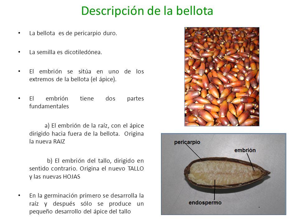 Descripción de la bellota La bellota es de pericarpio duro. La semilla es dicotiledónea. El embrión se sitúa en uno de los extremos de la bellota (el