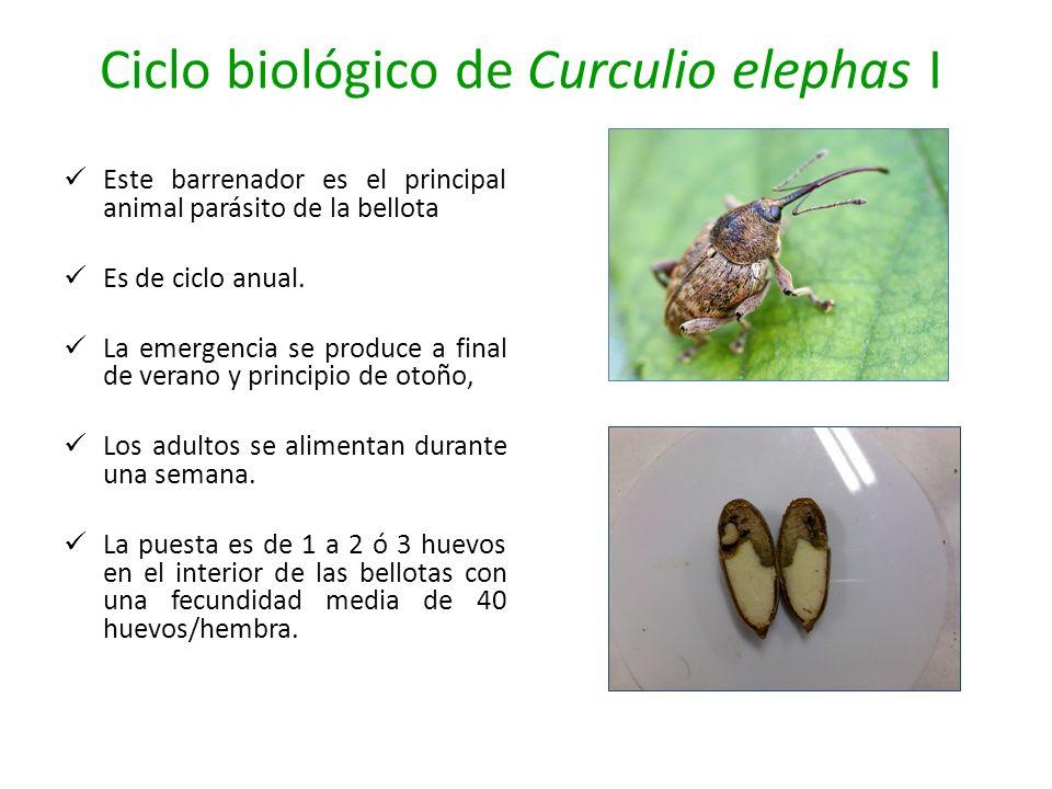 Ciclo biológico de Curculio elephas I Este barrenador es el principal animal parásito de la bellota Es de ciclo anual. La emergencia se produce a fina