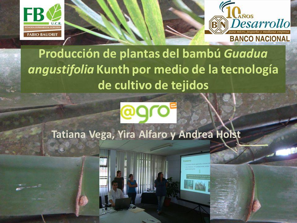 Producción de plantas del bambú Guadua angustifolia Kunth por medio de la tecnología de cultivo de tejidos Tatiana Vega, Yira Alfaro y Andrea Holst