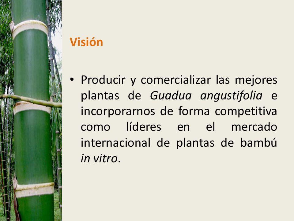 Visión Producir y comercializar las mejores plantas de Guadua angustifolia e incorporarnos de forma competitiva como líderes en el mercado internacional de plantas de bambú in vitro.