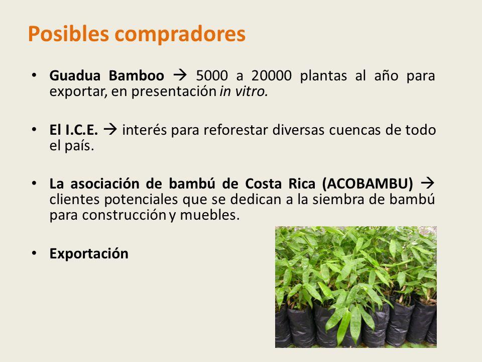 Posibles compradores Guadua Bamboo 5000 a 20000 plantas al año para exportar, en presentación in vitro.