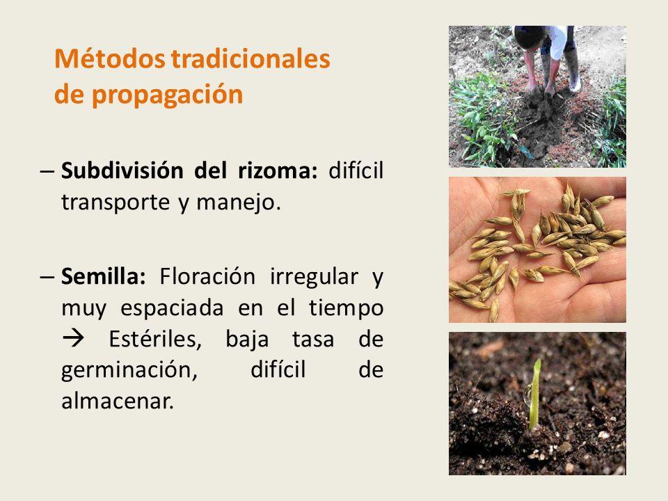 – Subdivisión del rizoma: difícil transporte y manejo.