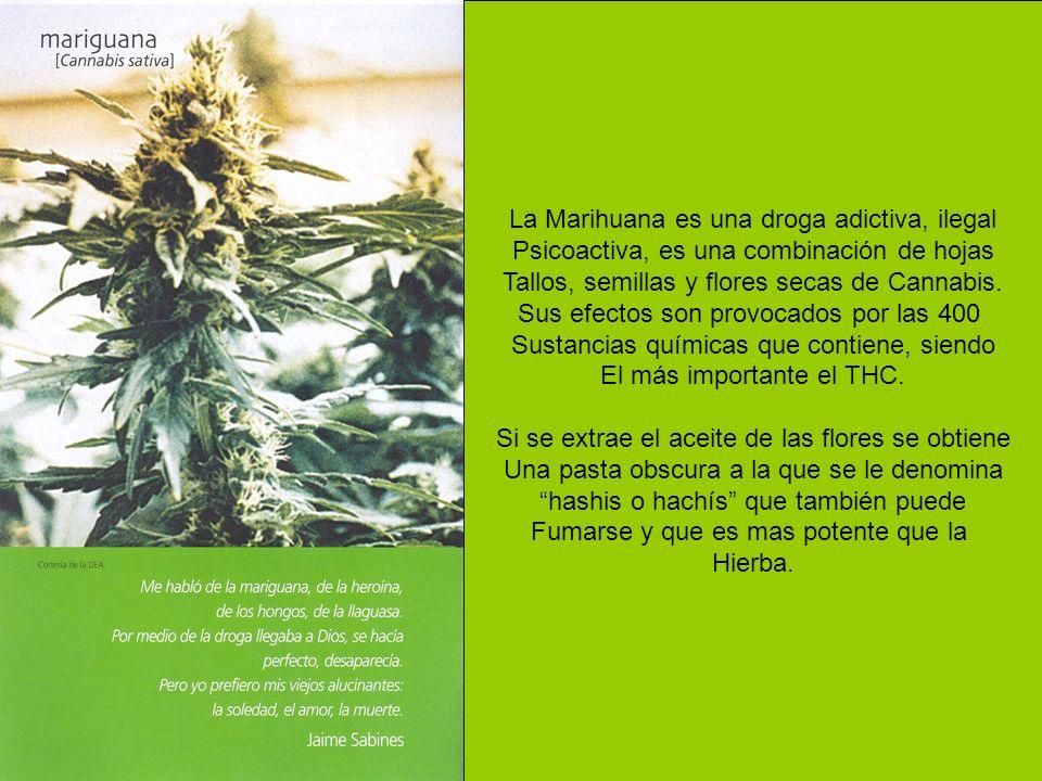 La Marihuana es una droga adictiva, ilegal Psicoactiva, es una combinación de hojas Tallos, semillas y flores secas de Cannabis. Sus efectos son provo
