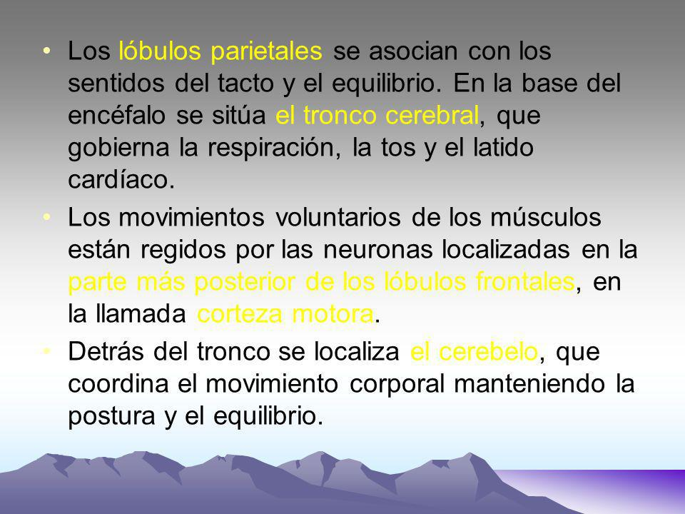 Los lóbulos parietales se asocian con los sentidos del tacto y el equilibrio. En la base del encéfalo se sitúa el tronco cerebral, que gobierna la res