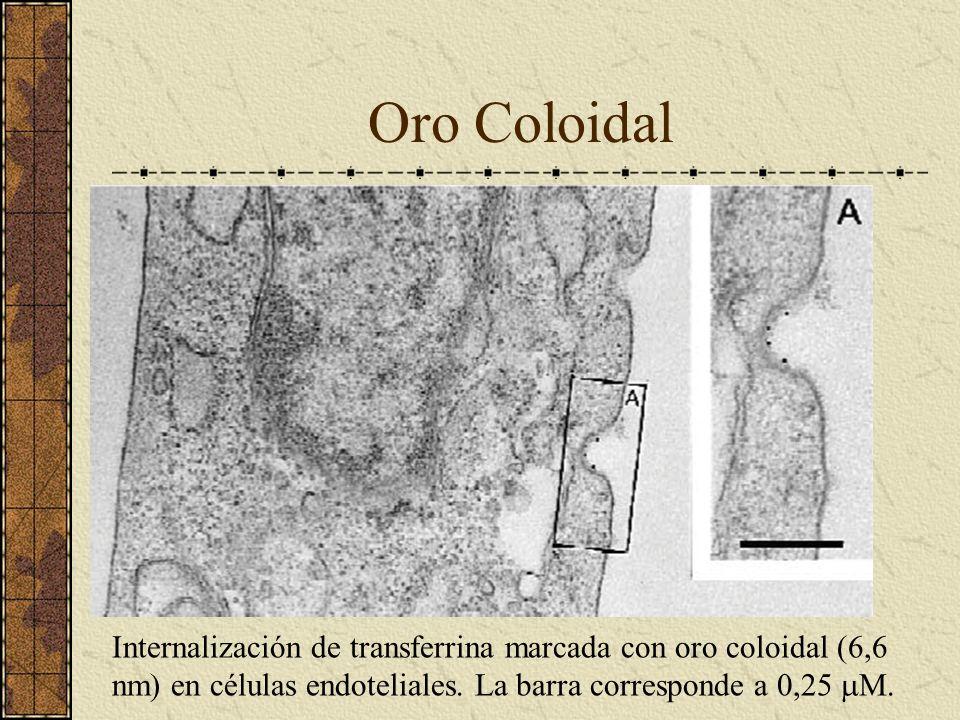 Oro Coloidal Internalización de transferrina marcada con oro coloidal (6,6 nm) en células endoteliales. La barra corresponde a 0,25 M.