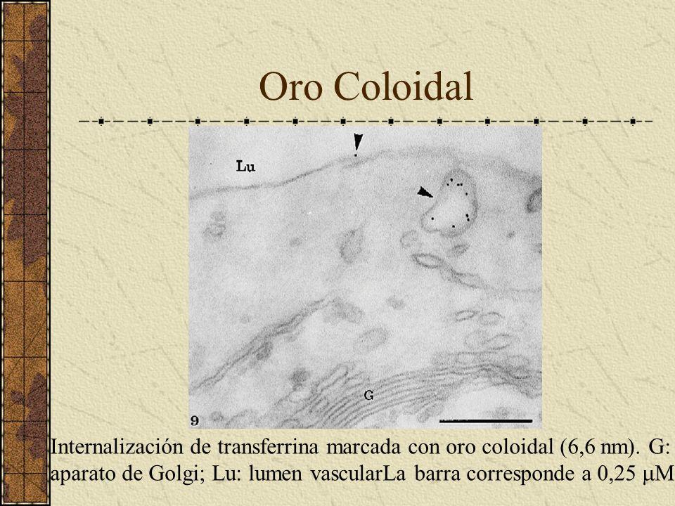 Oro Coloidal Internalización de transferrina marcada con oro coloidal (6,6 nm). G: aparato de Golgi; Lu: lumen vascularLa barra corresponde a 0,25 M.