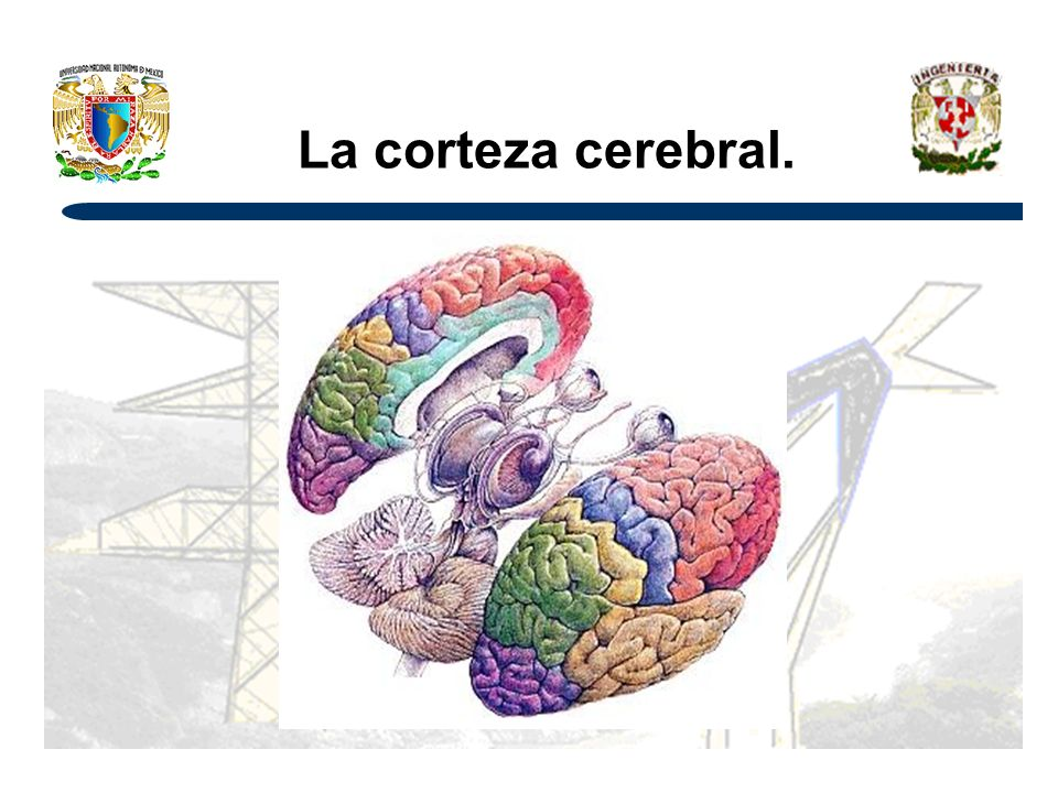 La corteza cerebral.