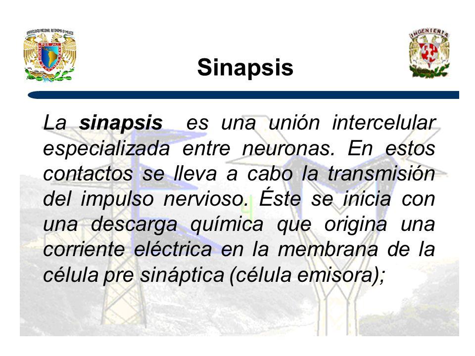 Sinapsis La sinapsis es una unión intercelular especializada entre neuronas.