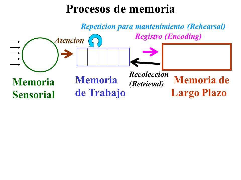 Memoria Sensorial Procesos de memoria Memoria de Trabajo Atencion Memoria de Largo Plazo Registro (Encoding) Recoleccion (Retrieval) Repeticion para m