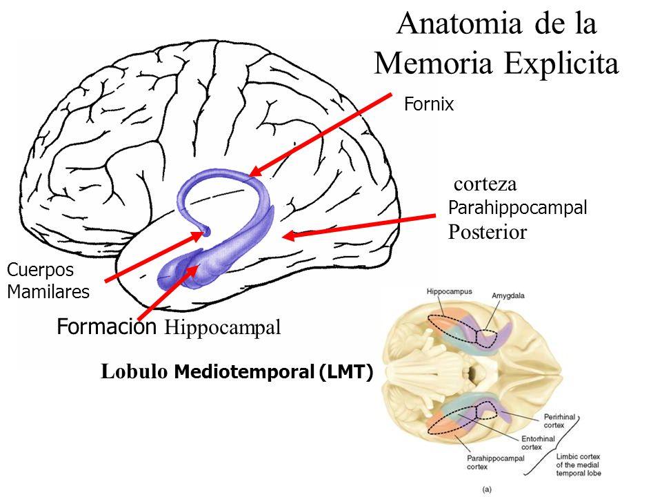 Anatomia de la Memoria Explicita Cuerpos Mamilares Formacion Hippocampal corteza Parahippocampal Posterior Fornix Lobulo Mediotemporal (LMT)