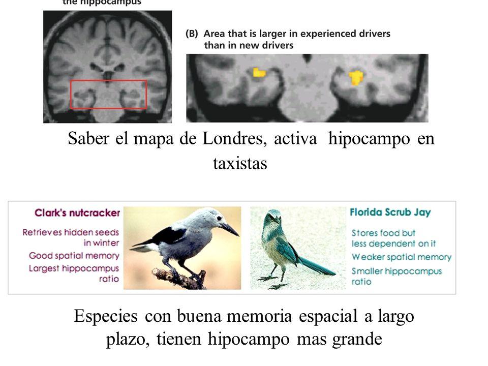 Saber el mapa de Londres, activa hipocampo en taxistas Especies con buena memoria espacial a largo plazo, tienen hipocampo mas grande
