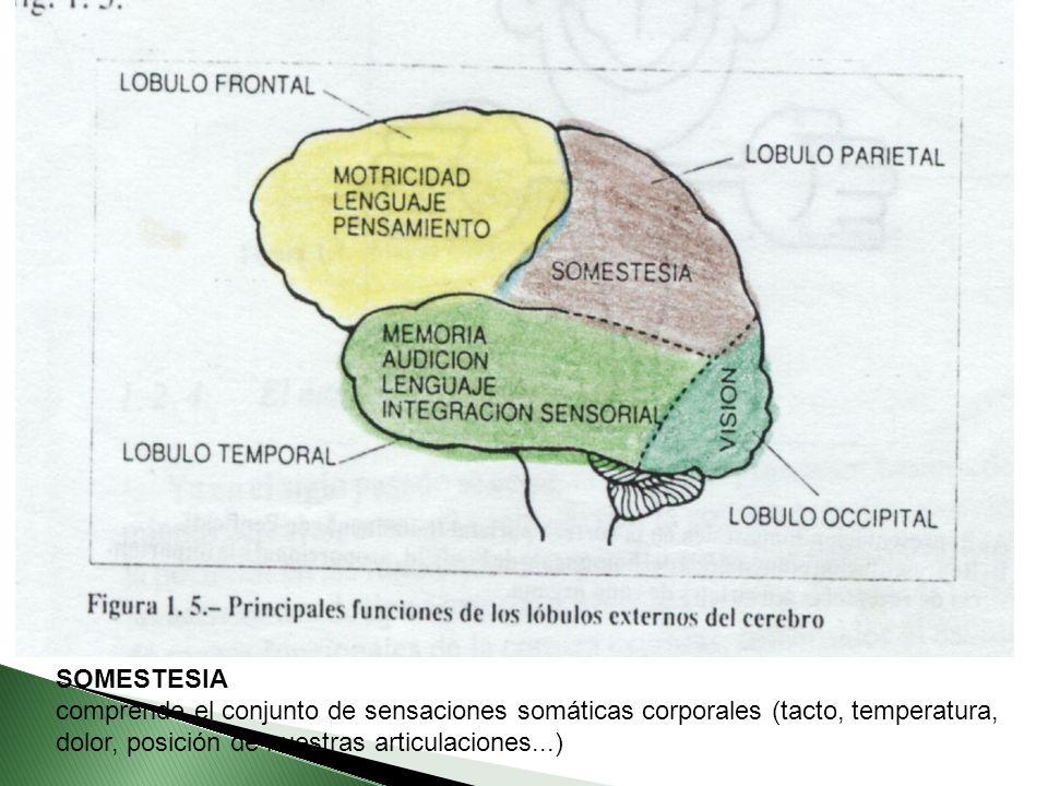 SOMESTESIA comprende el conjunto de sensaciones somáticas corporales (tacto, temperatura, dolor, posición de nuestras articulaciones...)