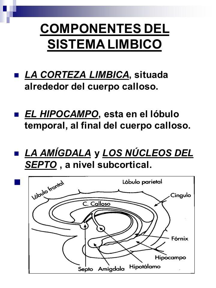 LA CORTEZA LIMBICA, situada alrededor del cuerpo calloso. EL HIPOCAMPO, esta en el lóbulo temporal, al final del cuerpo calloso. LA AMÍGDALA y LOS NÚC